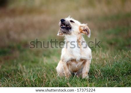 little dog barking in wild nature #17375224