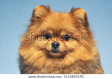 little dog breed Pomeranian Spitz on blue background, close-up studio shot. #1115803190