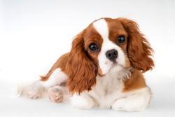 Little dog Cavalier King Charles Spaniel