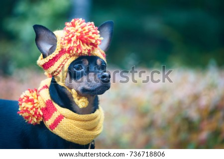 Little dog in an autumn hat and scarf. Funny, funny puppy. Theme of autumn, cold. A dog in clothes. Toy Terrier. Portrait of a macro. Space for text.