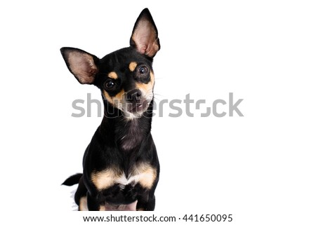 Little dog is Curious isolated on white background
