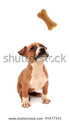 Little dog puppy is looking up in biscuit shaped as bone