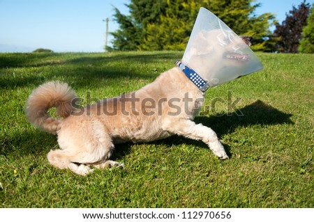 Little dog wearing a lampshade collar