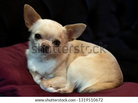 Little doggie Chihuahua lying on a red pillow, resting, bored,  #1319510672