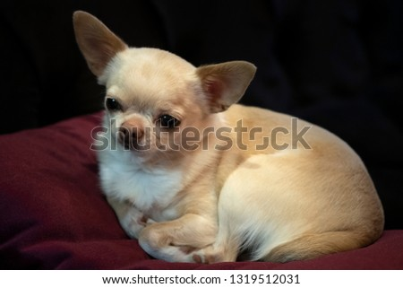 Little doggie Chihuahua lying on a red pillow, resting, bored, dark background. #1319512031