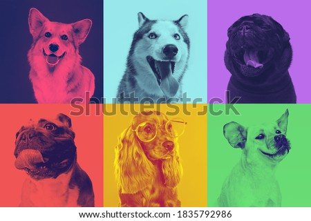 Little dogs are posing and looking in the camera. Cute doggies or pets are happy. The different purebred puppies. Creative collage isolated on multicolored studio background. Front view. Duotone