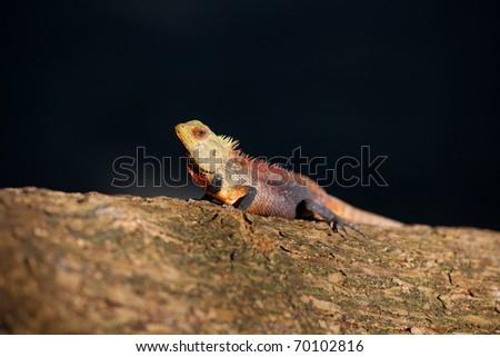Little dragon