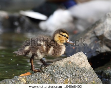 Little duckling (Anas platyrhynchos) on a rock by the water.