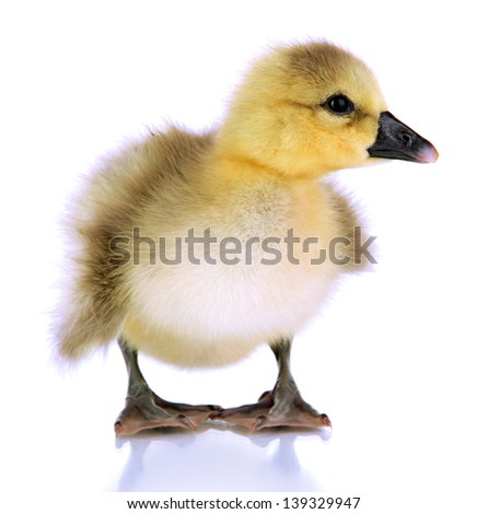 Little duckling isolated on white