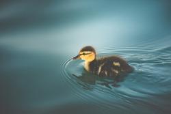 Little duckling swimming in deep waters, alone.