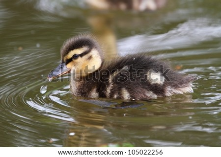 Little duckling swims on the surface of water.