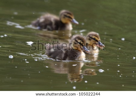 Little ducklings swims on the surface of water. - stock photo
