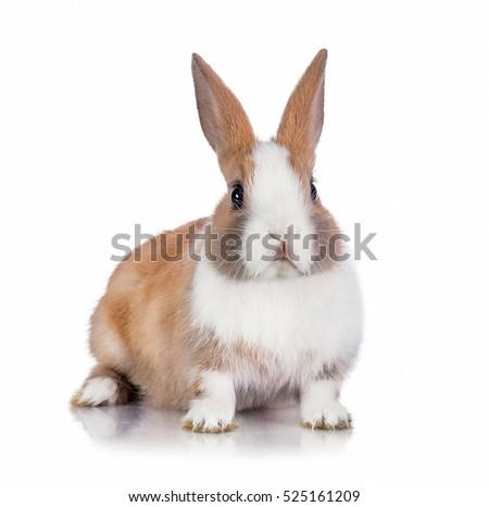 Little dwarf rabbit isolated on white