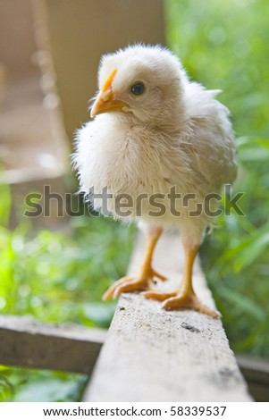 Little easter chick on wood