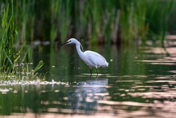 Little egret, a small white heron, in a lake.