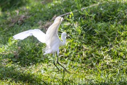 Little Egret at Lake Victoria in Uganda