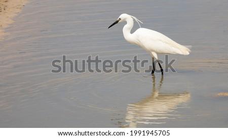 Little Egret (Egretta garzetta) ets un petit héron blanc d'Europe. Oiseau sauvage de France, en pêche dnas une lagune en Camargue. Passion de l'ornithologie et du birdwatching Photo stock ©