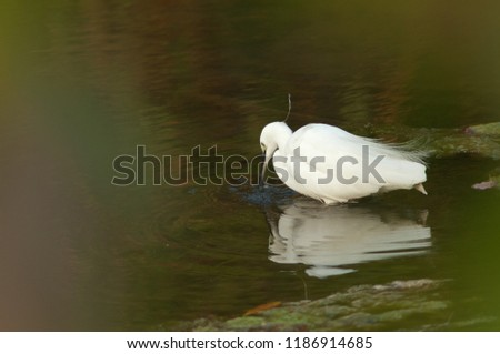 Little egret (Egretta garzetta) fishing in the breeding season. Hiran river. Sasan Gir. Gujarat. India.