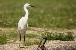 Little egret (Egretta garzetta), small white heron egret with black beak, long black legs and yellow feet, aquatic bird on the river dock