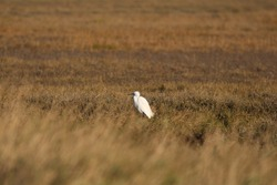little egret sat in a grassy marsh land