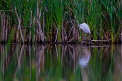 Little Egret with reflection with reeds in the background.The little egret is a species of small heron in the family Ardeidae.