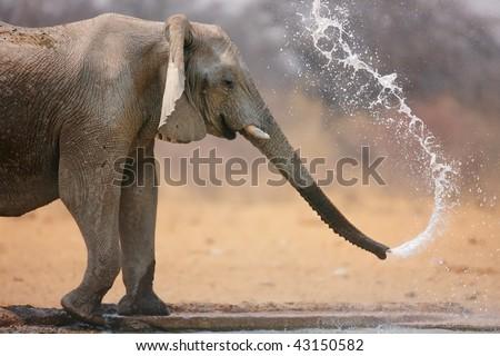 Little elephant spraying water; Loxodinta Africana; Etosha #43150582