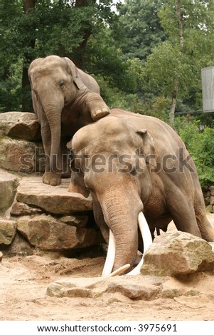 Little elephant trying to climb on his dad