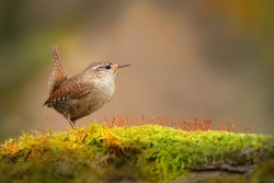 Little eurasian wren, troglodytes troglodyte, sitting on moss in autumn nature. Small brown bird resting on green branch from side. Wild feathered animal observing on bough with copy space.