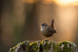Little eurasian wren, troglodytes troglodyte, sitting on tree in spring sunset. Small brown bird resting on mossed stump in sunlit nature. Songbird looking in forest with copy space.