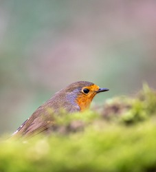 Little european robin hiding on the ground in a forest. A robin bird is a song bird with a orange breast, often called redbreast.