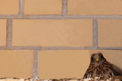 Little Falcon. A Kestrel chick against a brick wall. Curious, unprotected, alone, wild feathered on the roof. A brood of birds of prey. Close. Close up.