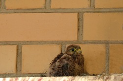 Little Falcon. Defenseless, scared, wary Kestrel chick. A small bird against a brick wall. Near. Close up.
