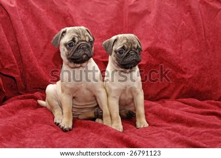 Little female pugs (ten weeks old) Foto stock ©
