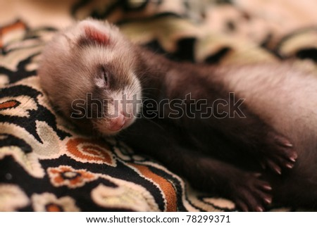 little ferret