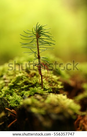 little fir #556357747