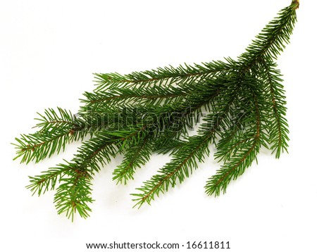 Little fir branch isolated on white
