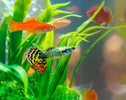 Little fish in fish tank or aquarium, gold fish, guppy and red fish, fancy carp with green plant, underwater life concept.