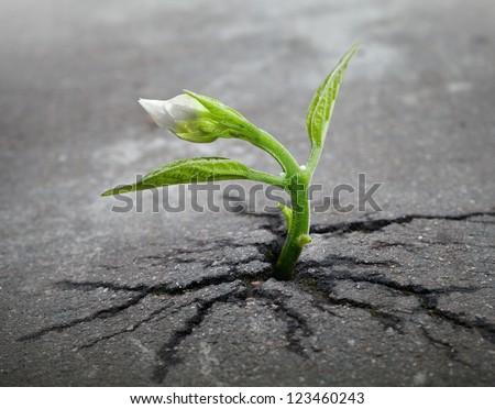 Little flower sprout  grows through urban asphalt ground #123460243