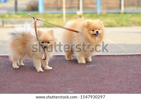 Little fluffy cute Pomeranian spitz puppy outside in the sunshines on the walk show tongue. cream beige ginger foxy sunny sun dog-spitz with brown kind eyes pet. Dog breeding. Love animals friendship