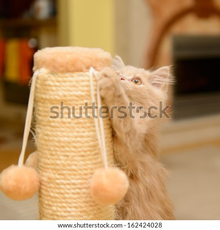 little fluffy Persian kitten playing on the cat scratching posts