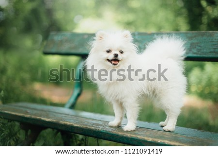 Little fluffy pomeranian dog in the park #1121091419