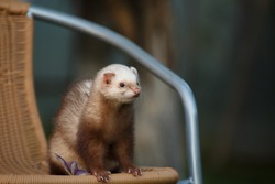 little fluffy predatory animal ferret, beige color, on a wicker chair, in summer, outside