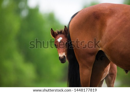 little foal brown  horse I hid behind my mom the summer, playing hide and seek Сток-фото ©