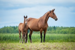 Little foal with a mare on the field in summer