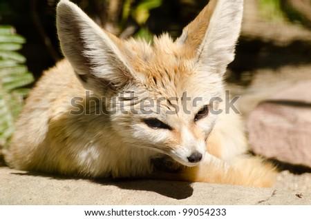 little fox - stock photo