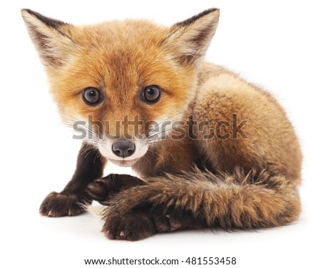 Little fox isolated on a white background.