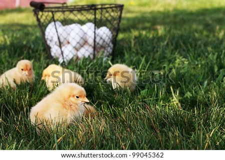 Little free range Buff Orpington chicks outdoors by a basket filled with fresh organic eggs. Extreme shallow depth of field with selective focus on chick in foreground.