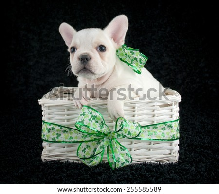Little French Bulldog puppy sitting in a basket with shamrock ribbon around it wearing a shamrock bow on a black background.