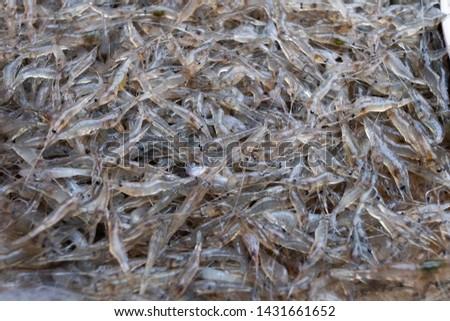 Little freshwater shrimp (Macrobrachium lanchesteri) , freshwater shrimp background , freshwater shrimp in the local market  #1431661652