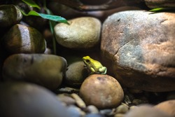 little frog yellow green macro stones aquarium reptile poison head heat isolation